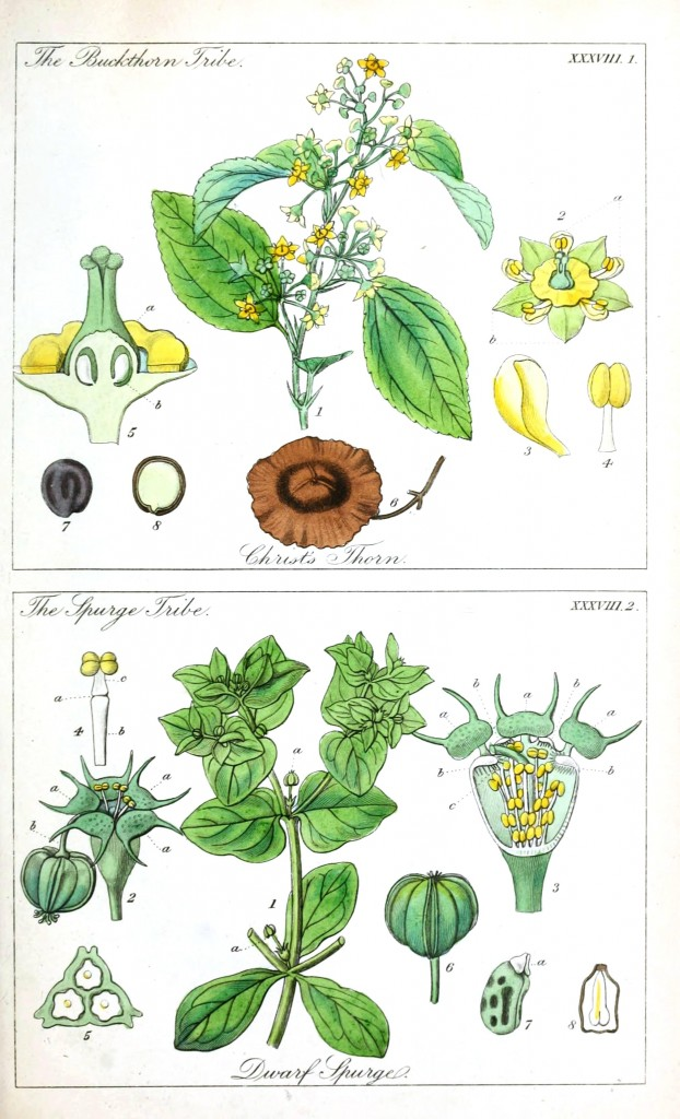 Botanical - Educational plate - Ladies botany 13