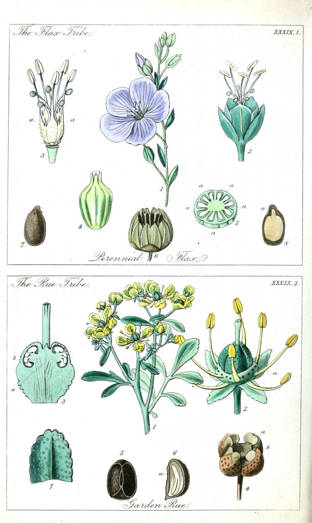 Botanical - Educational plate - Ladies botany 14
