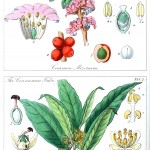 Botanical - Educational plate - Ladies botany 16