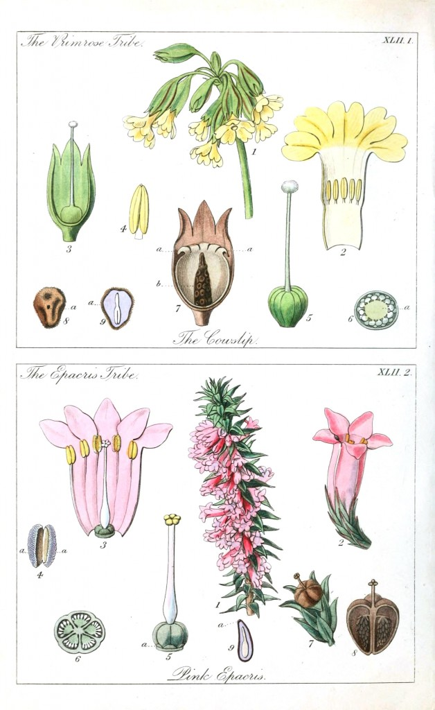 Botanical - Educational plate - Ladies botany 17