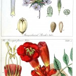 Botanical - Educational plate - Ladies botany 18