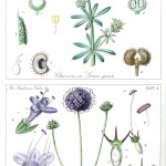 Botanical - Educational plate - Ladies botany 19