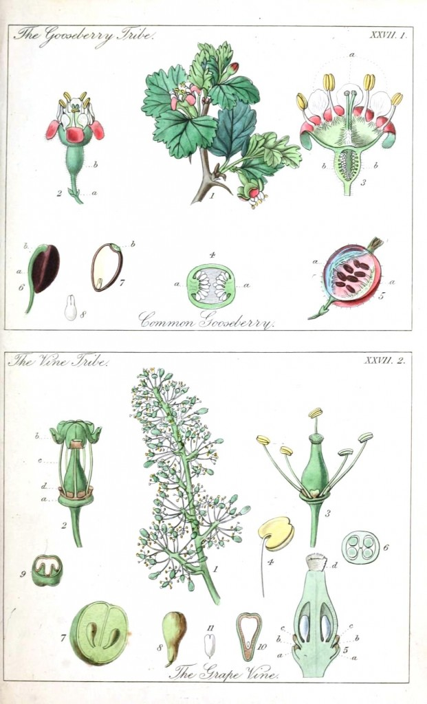 Botanical - Educational plate - Ladies botany 2