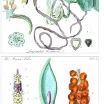 Botanical - Educational plate - Ladies botany 21