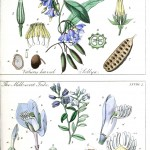 Botanical - Educational plate - Ladies botany 3