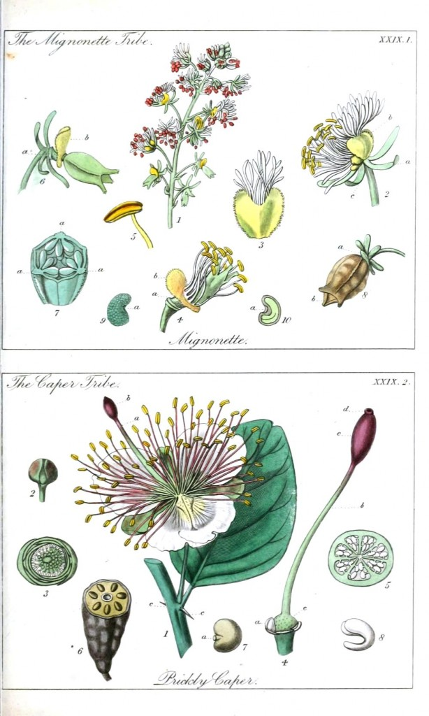Botanical - Educational plate - Ladies botany 4