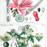 Botanical - Educational plate - Ladies botany 5