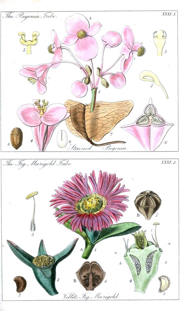 Botanical - Educational plate - Ladies botany 6