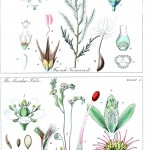 Botanical - Educational plate - Ladies botany 8