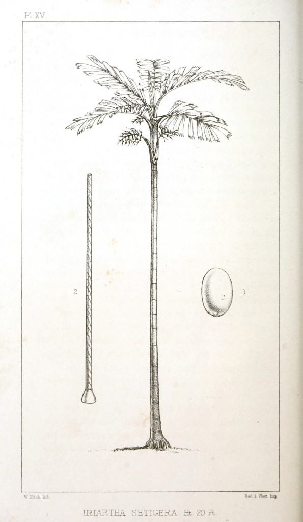 Botanical - Engraving - Trees - Amazon Palm Trees -   (12)