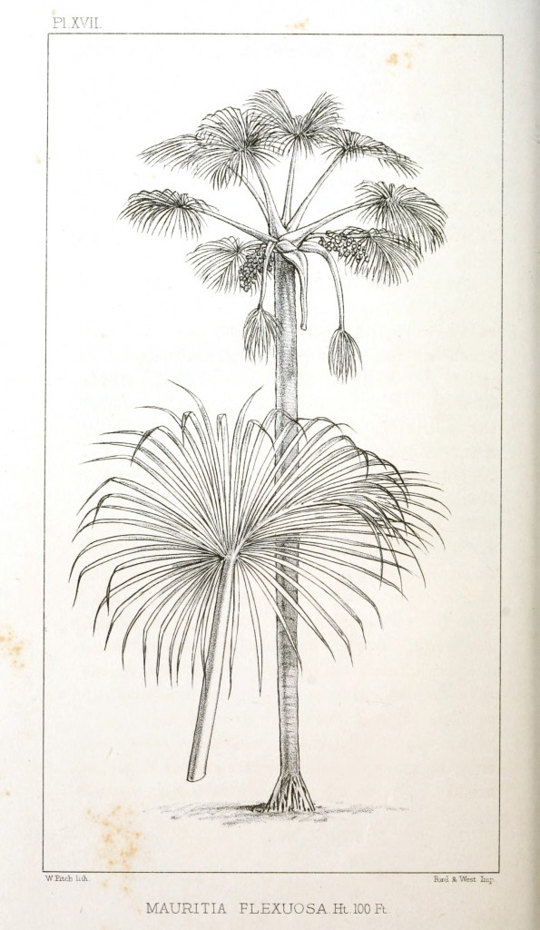 Botanical - Engraving - Trees - Amazon Palm Trees -   (14)