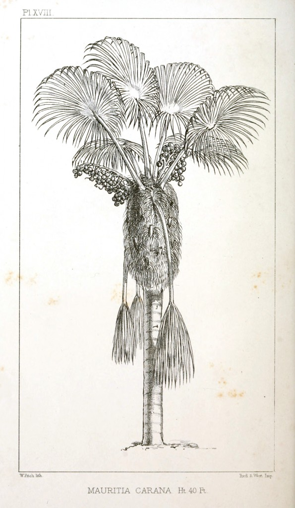 Botanical - Engraving - Trees - Amazon Palm Trees -   (15)