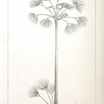 Botanical - Engraving - Trees - Amazon Palm Trees -   (16)