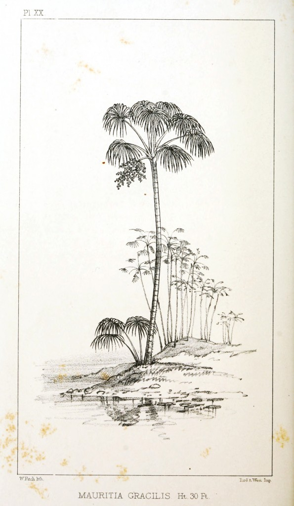 Botanical - Engraving - Trees - Amazon Palm Trees -   (17)