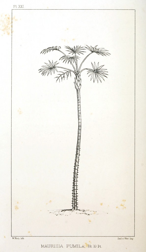 Botanical - Engraving - Trees - Amazon Palm Trees -   (18)