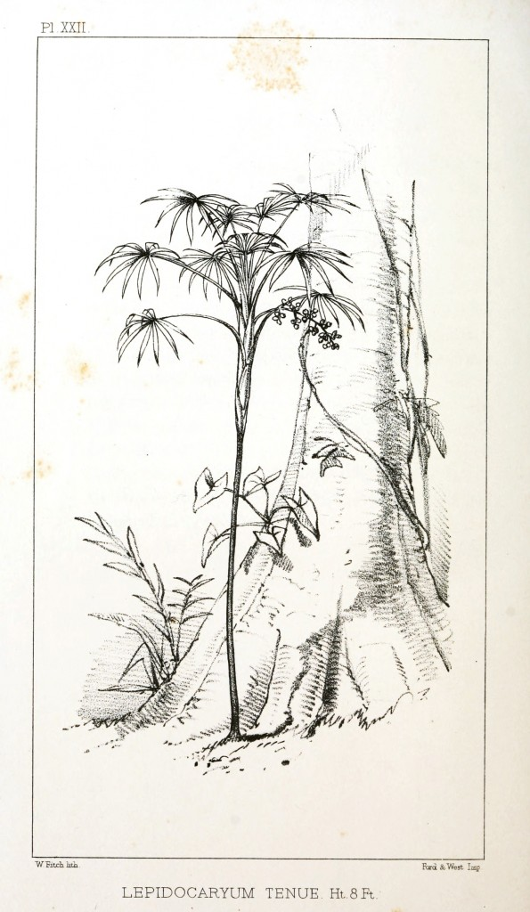 Botanical - Engraving - Trees - Amazon Palm Trees -   (19)