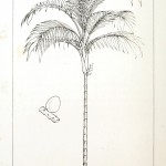 Botanical - Engraving - Trees - Amazon Palm Trees -   (20)