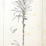 Botanical - Engraving - Trees - Amazon Palm Trees -   (22)