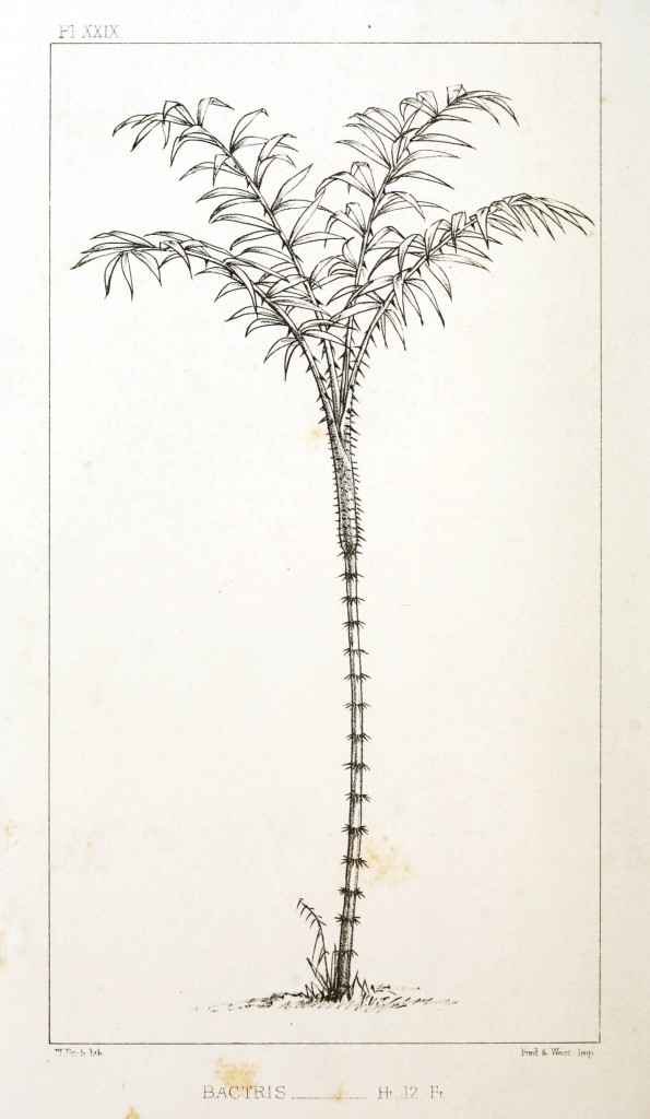 Botanical - Engraving - Trees - Amazon Palm Trees -   (26)