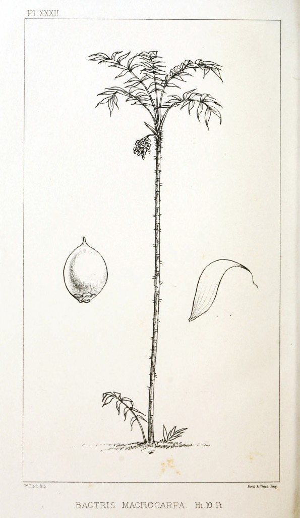 Botanical - Engraving - Trees - Amazon Palm Trees -   (29)