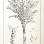 Botanical - Engraving - Trees - Amazon Palm Trees -   (34)