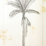 Botanical - Engraving - Trees - Amazon Palm Trees -   (35)