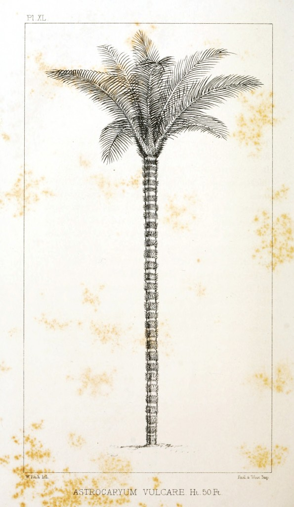 Botanical - Engraving - Trees - Amazon Palm Trees -   (36)