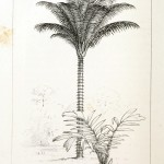 Botanical - Engraving - Trees - Amazon Palm Trees -   (37)