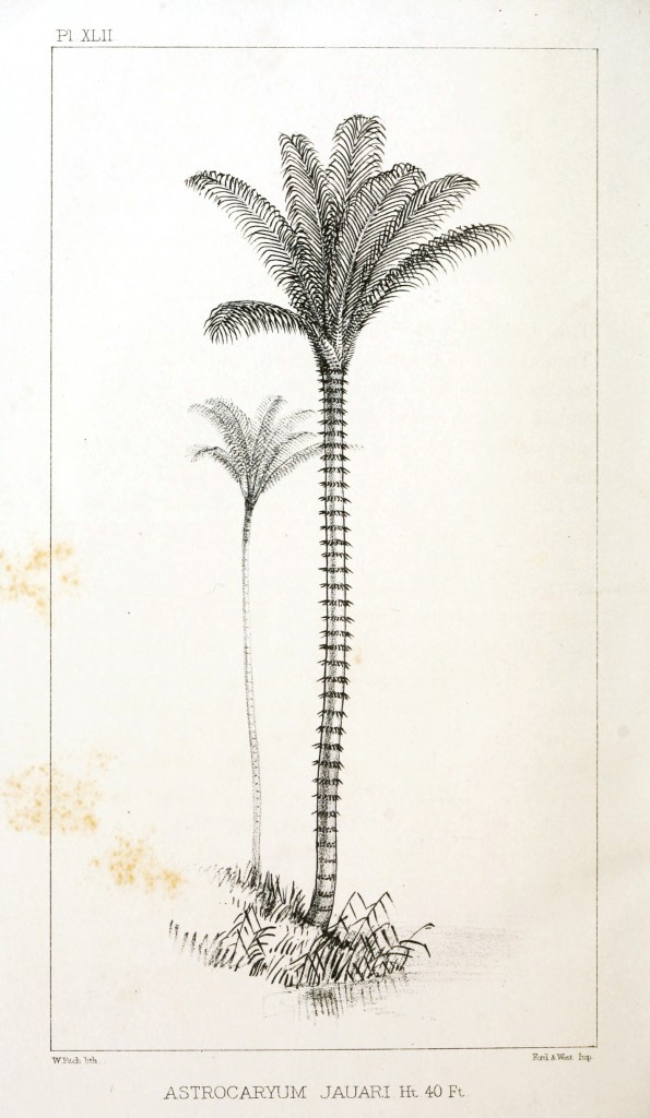 Botanical - Engraving - Trees - Amazon Palm Trees -   (38)