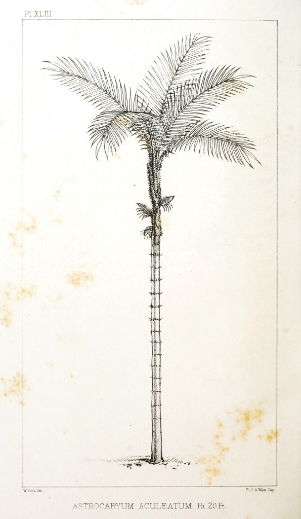 Botanical - Engraving - Trees - Amazon Palm Trees -   (39)