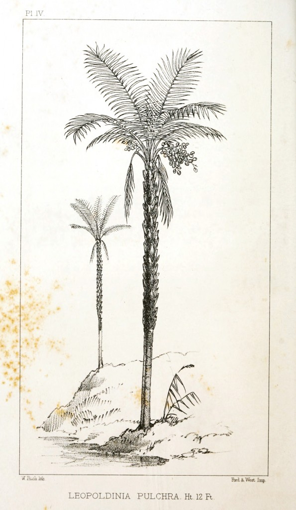 Botanical - Engraving - Trees - Amazon Palm Trees -   (4)