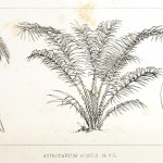 Botanical - Engraving - Trees - Amazon Palm Trees -   (40)