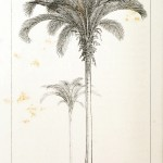 Botanical - Engraving - Trees - Amazon Palm Trees -   (42)