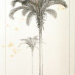 Botanical - Engraving - Trees - Amazon Palm Trees -   (42)-174x300