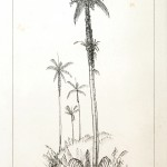 Botanical - Engraving - Trees - Amazon Palm Trees -   (5)