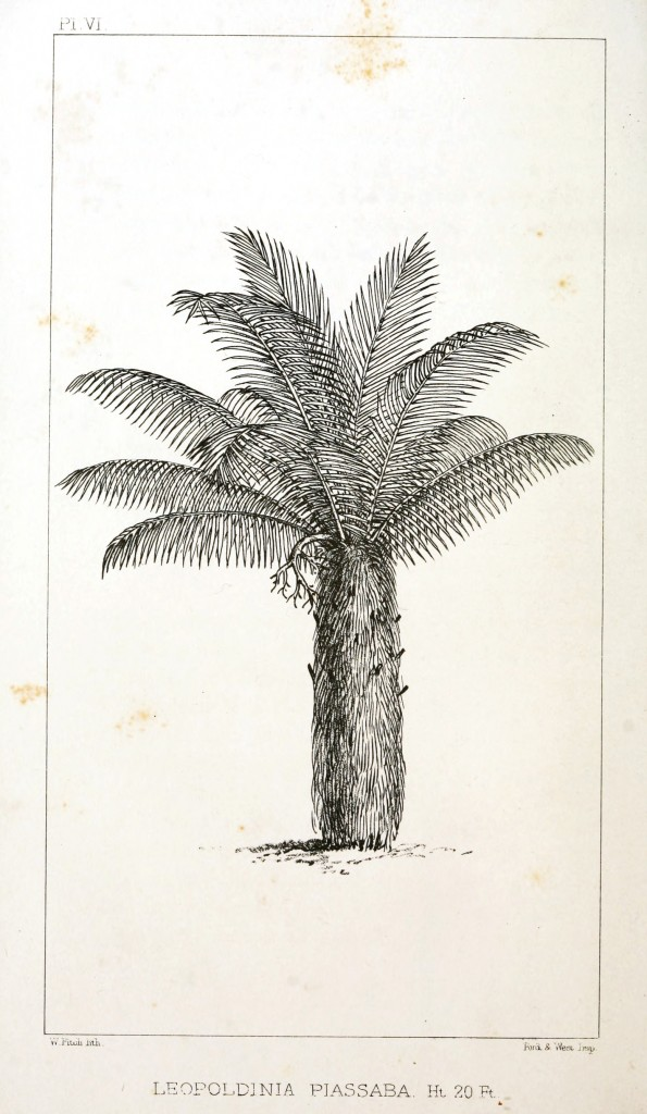 Botanical - Engraving - Trees - Amazon Palm Trees -   (6)