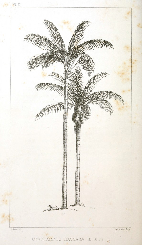 Botanical - Engraving - Trees - Amazon Palm Trees -   (9)