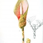 Botanical - Flower - Arum lilly