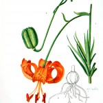 Botanical - Flower - Asiatic lilly - Orange