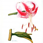 Botanical - Flower - Asiatic lilly - Pink and white