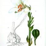 Botanical - Flower - Asiatic lilly - white
