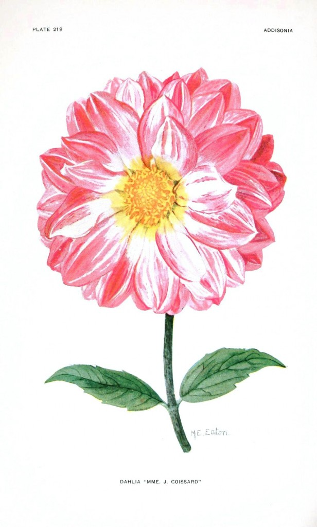 Botanical - Flower - Dahlia - Pink and white
