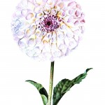 Botanical - Flower - Dahlia - White