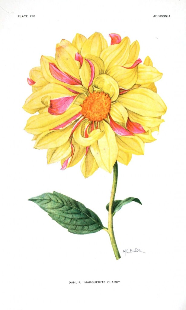 Botanical - Flower - Dahlia - Yellow and pink