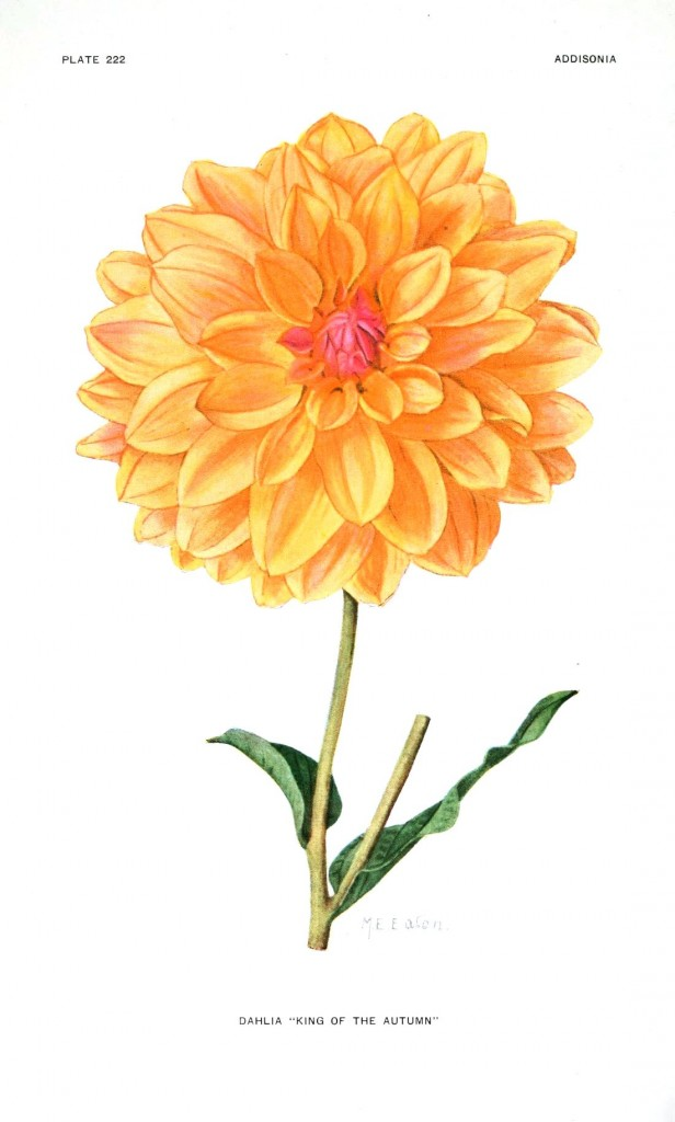 Botanical - Flower - Dahlia - Yellow