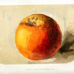 Botanical - Fruit - Orange - Painting