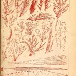 Botanical - Marine Plants 1