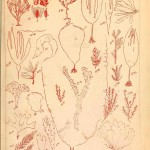 Botanical - Marine Plants 2