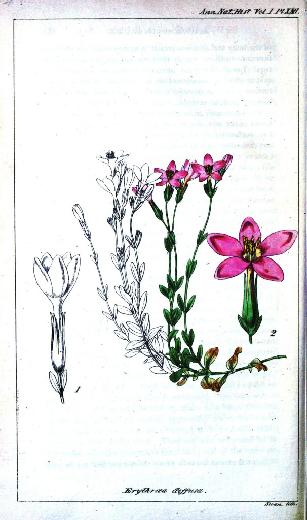 Botanical - Mauve flower