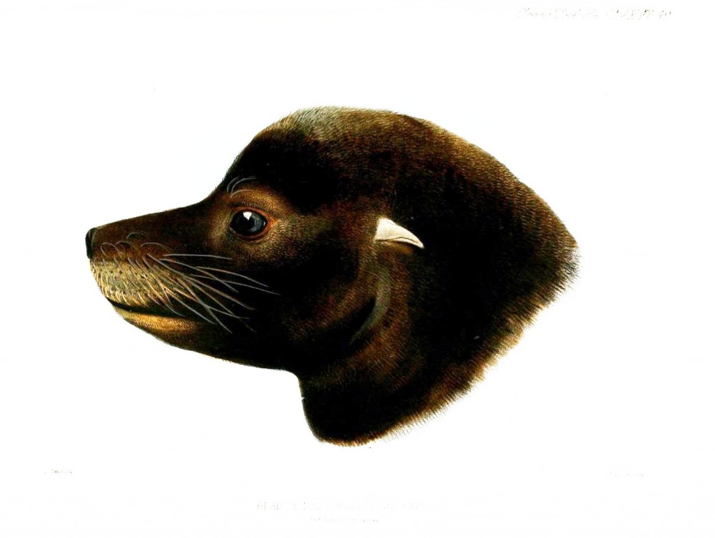 Animal - Animal head - Sea mammal - Seal